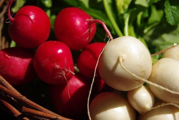 radish:turnip