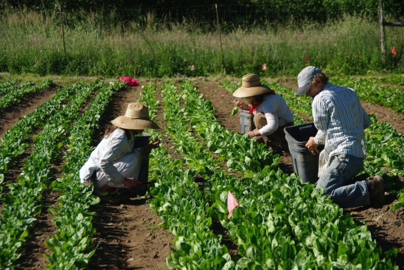 spinachharvesters