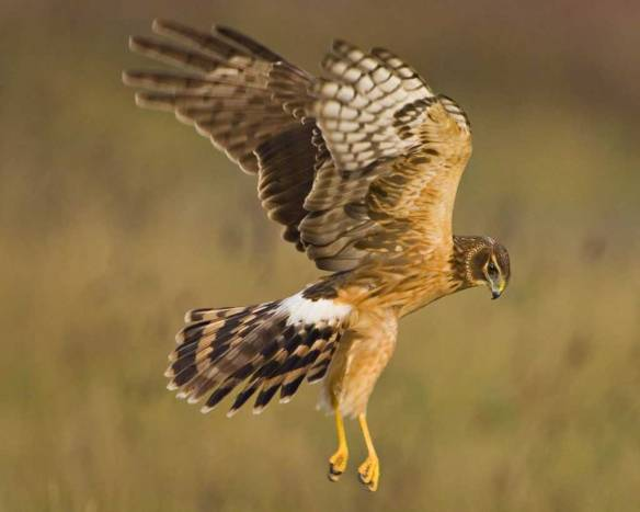 Northern_Harrier_l07-46-093_l